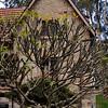 Plumeria at Nielsen Park, Sydney