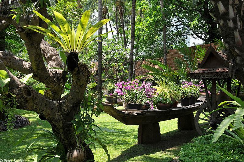 Plumeria cv. Marriot Hotel, Pattaya.