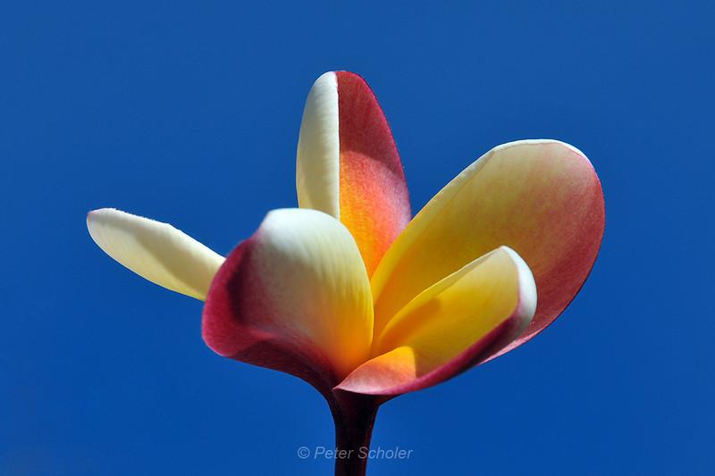 Plumeria 'Rainbow'<br /> National Tropical Botanical Gardens<br /> Kauai, Hawaii.<br /> Lawa'i Road, Po'ipu, South Kauai.