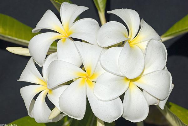 Plumeria obtusa 'Singapore White'<br /> Frangipani.<br /> Noosa Heads QLD Australia.