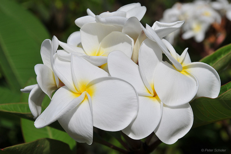 Plumeria 'Food science white'