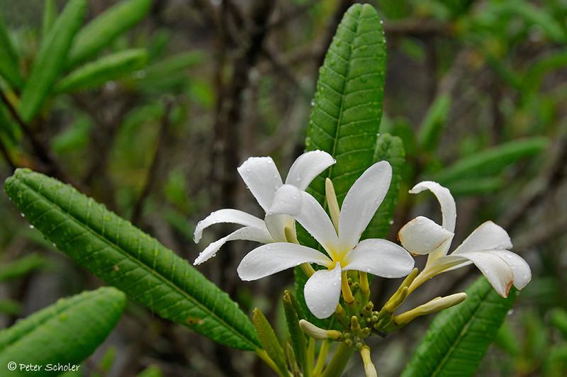 Plumeria sericifolia