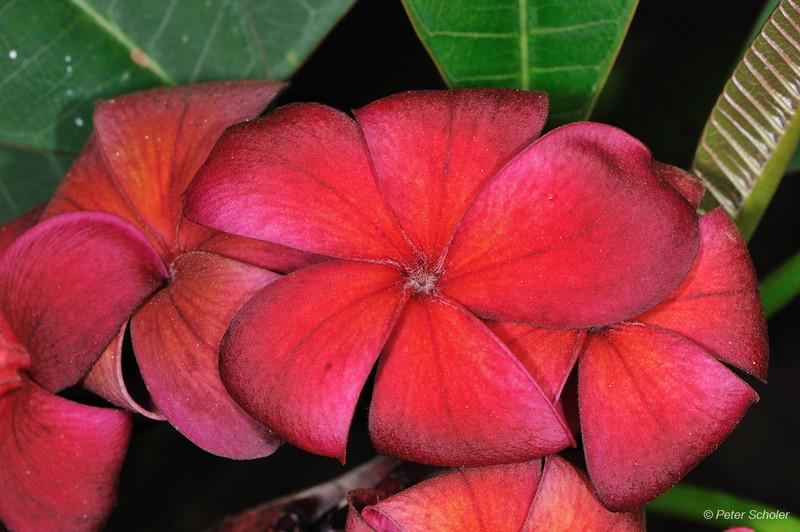 Plumeria 'Hilo Beauty'