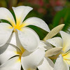 Plumeria obtusa 'Singapore White' <br /> Noosa Heads QLD.