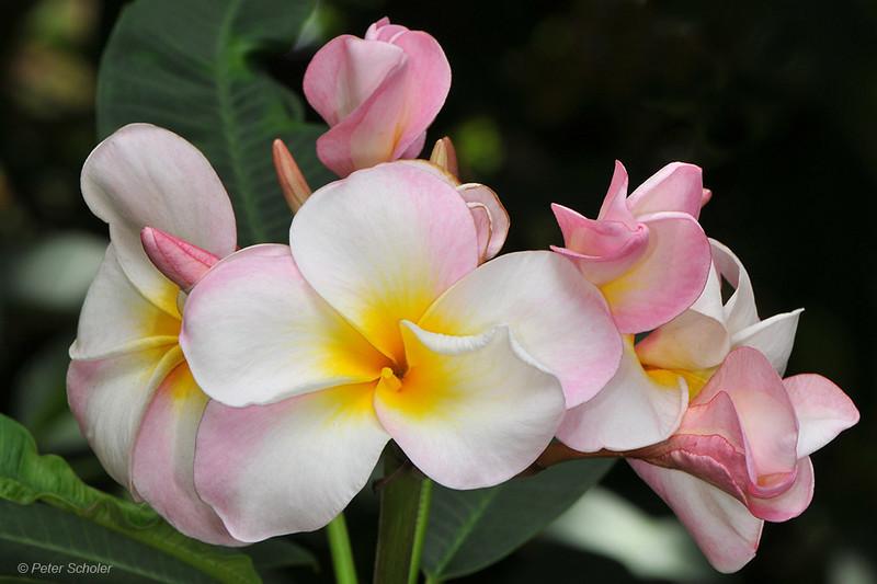 Plumeria 'Maui Beauty'