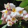 Plumeria 'Daisy Wilcox'<br /> Koko Crater, Oahu.<br /> Hawaii.