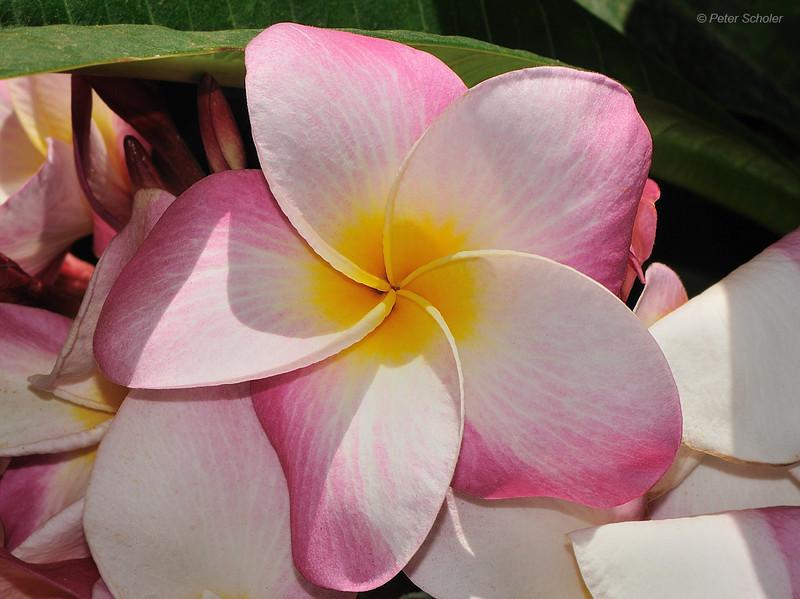Unnamed seedling.<br /> Koko Crater Botanic Garden<br /> Kokonani Street, Hawaii.