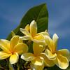 Plumeria rubra 'Lemon Drop'
