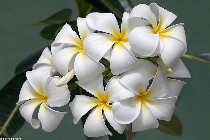 Plumeria 'Singapore White'