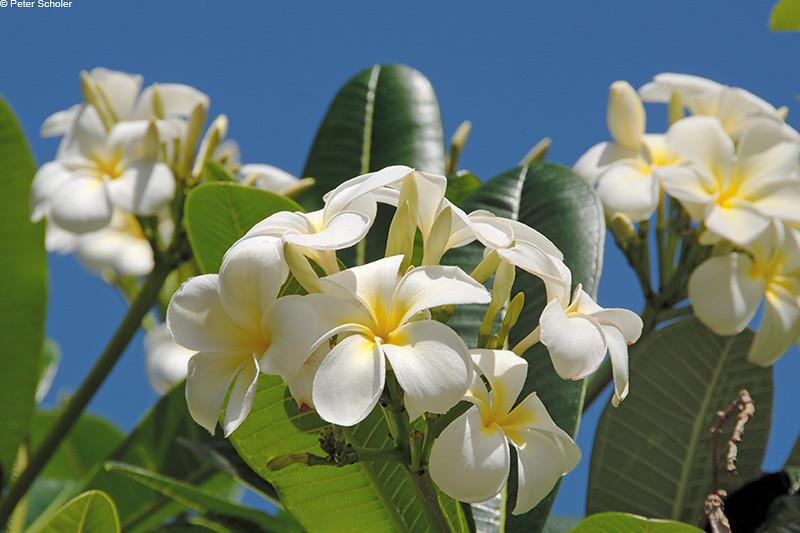 Plumeria obtusa 'Singapore White'<br /> Brisbane