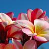 Plumeria 'Sharnas Rose'<br /> Frangipani, Noosa Heads, Queensland, Australia.