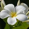 Plumeria obtusa 'Singapore White'<br /> Evergreen Frangipani, Noosa Heads, Queensland, Australia.
