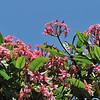 Plumeria 930198.<br /> Koko Crater Botanic Garden<br /> Kokonani Street, Hawaii.