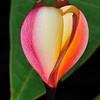 Plumeria 'Lei Rainbow'<br /> Koko Crater Botanic Garden<br /> Hawaii.