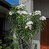 Bridal Bouquet <br /> Sunshine Coast Frangipani Farm QLD