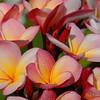 Plumeria 'Sharnas Rose'<br /> Noosa Heads, Queensland, Australia.
