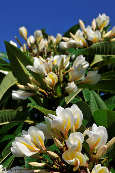 Plumeria rubra var acutifolia Celadine