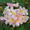 Pumeria 'Tillie Hughes' <br /> Dean Conklin Plumeria Garden at Koko Crater, Hawaii.