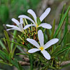 Plumeria filifolia<br /> Origin Cuba<br /> The Brisbane Botanic Gardens at Mt Coot-tha