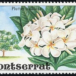 Plumeria obtusa<br /> Montserrat, Leeward Islands, Caribbean Sea.<br /> White Frangipani, Singapore Plumeria.