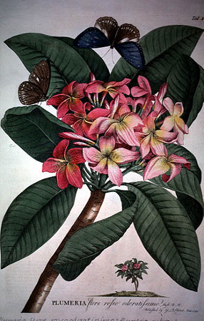"""Plumeria rubra L.<br /> <br /> Georg Dionys Ehret (1708-1770).<br /> Plantae et papiliones rariores.<br /> This was published in parts from 1748 until 1759 in folio.<br /> <br /> Plumeria was named formally by Linnaeus in 1753 for Charles Plumier (1646-1704), a French missionary who lived and collected plants in the West Indies in 1689, 1693 and in 1695. Plumier prepared a detailed manuscript of his botanical discoveries and made some 6000 original field sketches and drawings. These are now housed at the Muséum d'Histoire naturelle in Paris. Linnaeus examined a set of copies made by Claude Aubriet which are now in the University Library at Groningen. These copies were also used by Johannes Burman who prepared and published 262 plates in Plantarum americanarum from 1755 until 1760. Plumier himself published three important pre-1753 works which were used by Linnaeus to understand tropical American plants: Description des plantes de l'Amérique (1693), Nova plantarum americanarum genera (1703), and Traité des fougères de l'Amerique (1705). The latter was particularly important in Linnaeus's treatment of American ferns.<br /> <br /> The seventeen species of the genus Plumeria are found only in tropical America. In the wild these are pachycaulous trees and shrubs. Plumeria rubra is widely cultivated as a flowering shrub especially in the warmer regions of the world. The genus belongs to the dogbane family, Apocynaceae Adans. The genus is the type of a large and complex tropical subfamily frequently termed Plumerioideae Leurss. (1882), although the correct name for the assembly is subf. Rauvolfioideae Kostel. (1834). The taxon is sometimes separated as its own family, Plumeriaceae Horan.<br /> <br /> Source and Link:<br /> University of Maryland<br /> <a href=""""http://www.plantsystematics.org/reveal/pbio/FindIT/ehret.html"""">http://www.plantsystematics.org/reveal/pbio/FindIT/ehret.html</a><br /> AN ARRAY OF BOTANICAL IMAGES<br /> presented by James L. Reveal<br /> Professor E"""