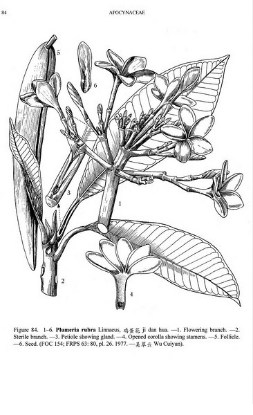 """Plumeria rubra L.<br /> Flora of China Illustrations vol. 16, fig. 84, 1-6<br /> License: License terms.<br /> <a href=""""http://creativecommons.org/licenses/by-nc-sa/3.0/"""">http://creativecommons.org/licenses/by-nc-sa/3.0/</a>"""