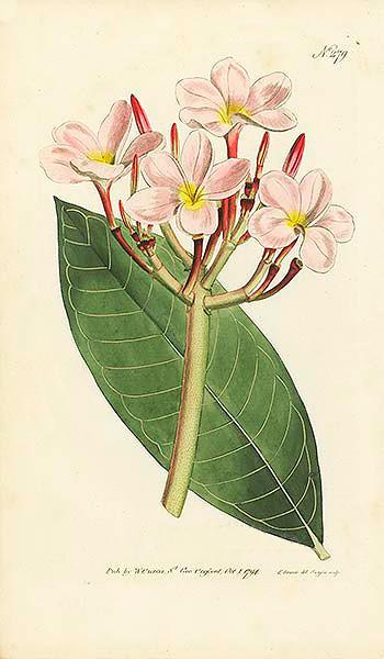 Plumera rubra.<br /> Edwards 1794<br /> Curtis's Botanical Magazine<br /> Plate 279 (Vol. 8, 1794): Plumeria Rubra (Red Plumeria)
