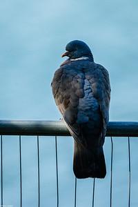 Sea Pigeon?
