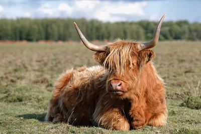 szkocka wyżynna | highland cattle