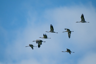 żuraw | common crane | grus grus