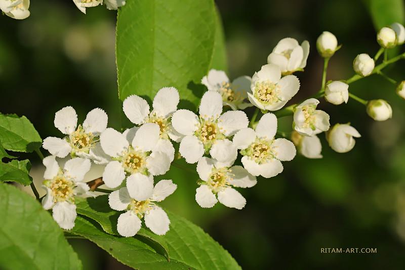 """Вешний цвет<br /> <br /> Весна одела в ткани млечные<br /> Дерев зеленые тела —<br /> Как будто платья подвенечные<br /> Вкруг станов стройных обвила —<br /> <br /> Как будто в хоровод танцующий<br /> Созвала трепетных невест —<br /> И сводит нас с ума ликующий<br /> И страстный вешний белый цвет —<br /> <br /> И он кипит благоуханьями<br /> И пылом чувств волнует кровь —<br /> И в сердце с вешними лобзаньями<br /> Цветет кипучая любовь…<br /> <br /> Природа вся, невестой бдящею,<br /> Рядясь в цветущие шелка,<br /> Ждет поцелуя столь манящего<br /> Божественного жениха —<br /> <br /> И с нею в общем ликовании<br /> Цветет и тешится душа,<br /> В восторге тайном упования<br /> К любви божественной спеша…<br /> <br /> <br /> <br /> Стихи и фото:<br /> Ритам Мельгунов<br /> 04.06.2017<br /> Гатчина<br /> <br /> Photo and poem:<br /> Ritam Melgunov<br /> <br /> <br /> Из фотопоэтического цикла «Поэзия Весны»:<br /> <a href=""""http://www.stihi.ru/avtor/ritam1&book=28#28"""">http://www.stihi.ru/avtor/ritam1&book=28#28</a>"""