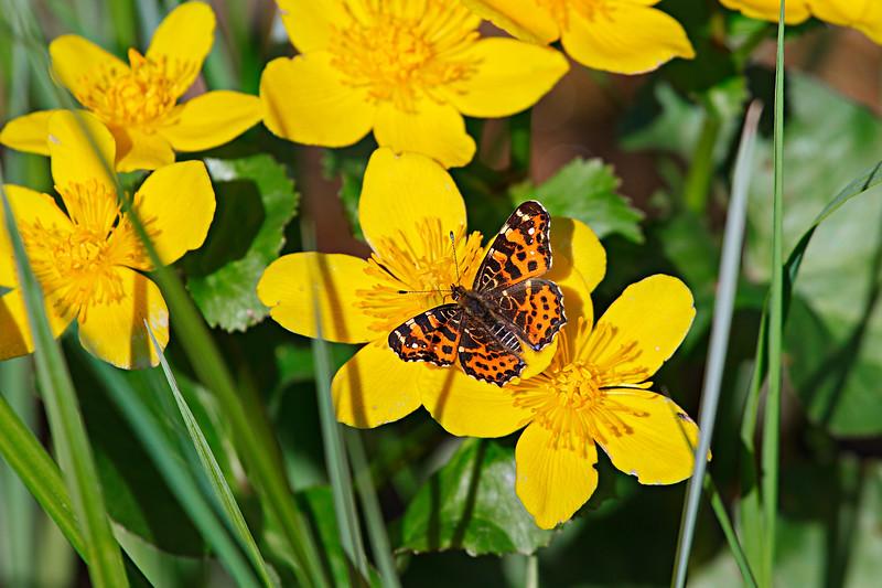 A Spring Moment — Araschina butterfly / Весеннее мгновение — бабочка пестрокрыльница