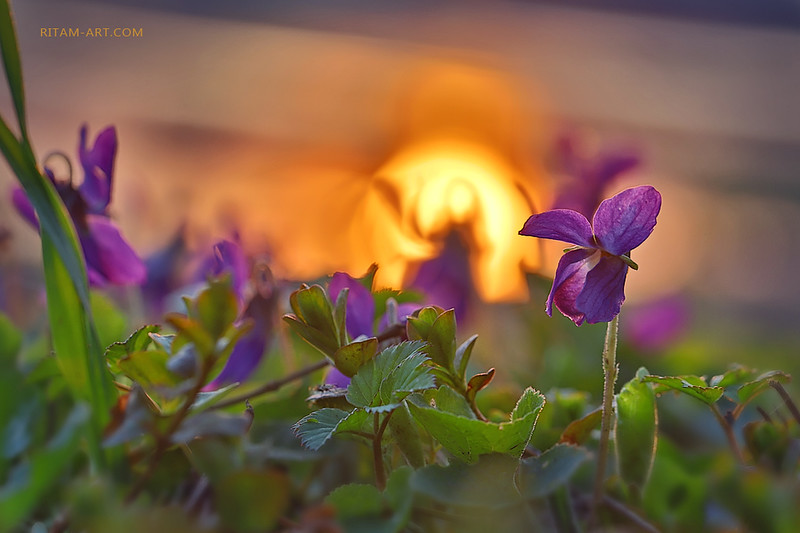 """Весна<br /> <br /> Живой ковер зеленого блаженства<br /> Опять весна на землю постелила<br /> И пестрых гобеленов совершенство<br /> Деревьям вновь ожившим подарила.<br /> <br /> Чертоги золотистого оттенка<br /> Цветеньем юным засверкали всюду,<br /> Вновь жизни чудо вырвалось из тлена,<br /> Что оживлен лучей волшебных чудом.<br /> <br /> Восторг любви пронизал мир счастливый,<br /> Наполнил воздух трепетным дыханьем:<br /> Лучей, цветов и трелей хор игривый<br /> Танцует в поднебесном мирозданьи.<br /> <br /> Жизнь победила смерть, восстав от сна,<br /> Взметнувшись вихрем красоты нетленной...<br /> О человек, когда ж твоя Весна<br /> Бессмертие восславит во вселенной?<br /> <br /> <br /> Стихи и фото:<br /> Ритам Мельгунов<br /> Из ранних стихов<br /> начало 1990-х<br /> <br /> Photo and poem:<br /> Ritam Melgunov<br /> <br /> <br /> Из фотопоэтического цикла «Поэзия Весны»:<br /> <a href=""""http://www.stihi.ru/avtor/ritam1&book=28#28"""">http://www.stihi.ru/avtor/ritam1&book=28#28</a>"""