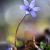 Первый подснежник / The First Spring-Flower