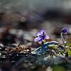 Shine of Spring - First Spring Flowers / Сияние Весны - весенние первоцветы
