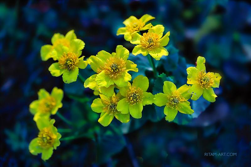 "Все - Любовь<br /> <br /> И вновь весна взвихряет танец свой,<br /> Лучи, листы восторг искристый ткут<br /> И, озаряя тусклый прах земной,<br /> Повсюду чудо-солнышки цветут.<br /> <br /> Вдруг вырываются они на свет<br /> Из мерзлых недр, из хладной толщи сна<br /> И, выпростав сквозь снег свой нежный цвет,<br /> Лучисто сердце согревают нам.<br /> <br /> И в них мы ощущаем, что любовь<br /> Живет, течет во всем и движет всем,<br /> Вздымает вешний цвет из-под снегов,<br /> Связует все единым бытием —<br /> <br /> Мир озаряет солнцем в безднах тьмы,<br /> Из недр взрастает в солнышках цветов,<br /> Чтоб в недрах сердца ощутили мы,<br /> Что мир — одно, что все — одна Любовь.<br /> <br /> <br /> Стихи и фото:<br /> Ритам Мельгунов<br /> 29.05.2017<br /> Гатчина<br /> <br /> <br /> Из фотопоэтического цикла «Поэзия Весны»:<br /> <a href=""http://www.stihi.ru/avtor/ritam1&book=28#28"">http://www.stihi.ru/avtor/ritam1&book=28#28</a><br /> <br /> <br /> Мать-и-мачеха цветет.<br /> <br /> *<br /> <br /> All is Love<br /> <br /> Now Spring again is whirling in her dance:<br /> She wove the rays and leaves in one delight<br /> And blowing everywhere her blooming suns<br /> Illumined the dull earthly dust alight.<br /> <br /> Lo! they break up from the earth's frozen womb<br /> To the sunlight piercing the torpor cold<br /> And, spreading forth their bright and tender bloom,<br /> Warm glistening our heart, so meek, so bold.<br /> <br /> And we can feel in them love is so close:<br /> It lives in everything, moves everything,<br /> Raises the vernal blossoms from the snows,<br /> Unites all things and creatures in one being —<br /> <br /> In the dark Abyss lights us with the Sun,<br /> From the earth-depths in her sun-blooms can shove<br /> So that in our heart-depths we can<br /> Feel that the world is one, all is one Love.<br /> <br /> <br /> Photo and poem:<br /> Ritam Melgunov<br /> 30.05.2017"