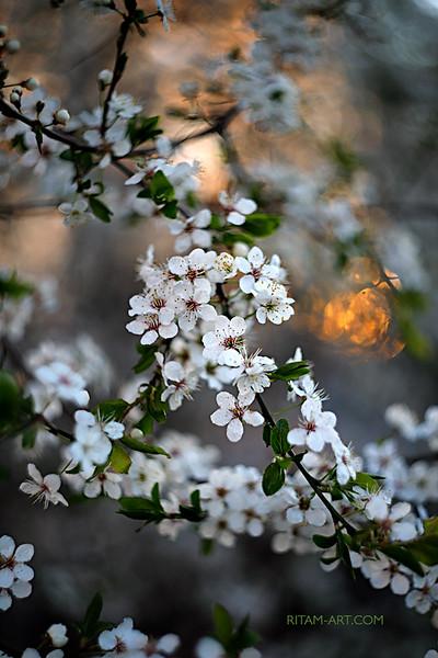 Белые кружева Весны / The White Lace of Spring