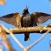 Весна - Поет скворец / Spring - Starling singing