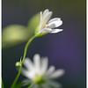 Белые цветы / White Flowers