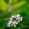 Вешняя краса / Spring Beauty