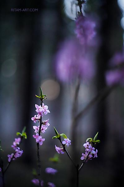 Северная сакура - японский мотив / The Northern Sakura - A Japanese Tune