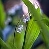 Ландышевый ноктюрн / May Lilies' Nocturne