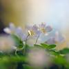 Белые цветы<br /> <br /> Белые цветы —<br /> Нежные снежинки,<br /> Звезды красоты,<br /> Чистых душ искринки —<br />  <br /> Белая роса<br /> Зорь счастливых мая,<br /> Дивные глаза,<br /> Что на мир взирают, —<br /> <br /> Рой, что вдруг слетел<br /> С кисти вдохновенной,<br /> В белой красоте<br /> Трепетно-блаженный,<br /> <br /> Как душистый снег<br /> В муравах весенних, —<br /> Изумрудный брег<br /> В белозвездной пене —<br /> <br /> Кипень звездных волн<br /> На смарагде вешнем,<br /> Выткавшая дерн<br /> Кружевом безгрешным…<br /> <br /> Белые цветы —<br /> Чистых грез хоралы,<br /> Тонкой красоты<br /> Нежные кристаллы,<br /> <br /> Ноты звездных од,<br /> Россыпи восторга —<br /> Радостный народ<br /> Райских рощиц Бога, —<br /> <br /> Вьют ваш тонкий цвет<br /> Брызги ливней мая,<br /> Рек астральных свет<br /> В лепестках мерцает…<br /> <br /> Цвет родных полей,<br /> Чудный, хоть неброский,<br /> Нет тебя милей,<br /> Цвет раздолий росских!<br /> <br /> Кроткие цветы,<br /> Чья краса живая<br /> От сует пустых<br /> Душу омывает, —<br /> <br /> В вас сияет нам<br /> Сказка таинств чистых —<br /> Чудо-письмена,<br /> Вязь стихов лучистых —<br /> <br /> Явь мечты, чей пыл<br /> Взрос цветком из тлена,<br /> В хрупкий цвет вселил<br /> Миг красы нетленной, —<br /> <br /> Взгляд любви, чей смех<br /> В прахе смог раскрыться,<br /> Распахнув для всех<br /> Лепестки-ресницы:<br /> <br /> Белых лепестков<br /> Чистое Писанье<br /> Нам гласит без слов<br /> Тайну мирозданья:<br /> <br /> Звездочки-цветы,<br /> Белые искринки —<br /> Горней чистоты<br /> Хрупкие дождинки,<br /> <br /> Звездных крыл пыльца —<br /> В вас мы видим ясно,<br /> Что рукой Творца<br /> Создан мир прекрасный! —<br /> <br /> В вас лучится нам<br /> Чудо-откровенье:<br /> Бог — во всем, Он сам<br /> Жив в Своих твореньях! —<br /> <br /> И Душа Творца<br /> Зрит на нас цветками,<br /> Чтоб у нас в сердцах,<br /> Дрогнув лепестками,<br /> <br /> Зову красоты<br /> Отзываясь споро,<br /> Сп