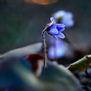 Весенние цветы<br /> <br />   Посвящается моим любимым подснежникам<br /> <br /> <br />     Здравствуйте, солнышки ясные,<br />     Очи весны всепрекрасные,<br />     Дети весны всечудесные,<br />     Почки-цветочки прелестные!<br />     Строчки, душою творимые,<br />     Вам посвятил я, родимые.<br /> <br /> <br /> Весенние цветы,<br /> Родной земли стремленья —<br /> В вас ожили мечты<br /> Отживших поколений.<br /> <br /> Весенние цветы,<br /> Живой земли растенья,<br /> Вы — чудо Красоты,<br /> Ожившей в мире тленья!<br /> <br /> Цветы живой весны,<br /> Живой земли дыханье,<br /> Вы — звезды недр земных,<br /> Что неба звезды манят.<br /> <br /> Цветы весны живой,<br /> Небесной сини братья,<br /> Узор ваш голубой<br /> Земли украсил платье,<br /> <br /> Ковер ваш голубой<br /> Расцвел в зеленых кущах,<br /> Чтоб радостью живой<br /> Вдруг озарились души —<br /> <br /> Как будто небеса<br /> На землю низлетели<br /> Иль Божии глаза<br /> Сквозь землю возглядели —<br /> <br /> Как будто неба взгляд<br /> Взрос из земли на стеблях<br /> Иль синий звездопад<br /> С небес ниспал на землю…<br /> <br /> Весенние цветы<br /> На смену зимней стуже —<br /> Неброской красоты<br /> Дары, что нежат душу, —<br /> <br /> Дары любви живой,<br /> Что скрыта в недрах мира<br /> И движет прах земной<br /> Ожить под снежной ширью —<br /> <br /> Воскреснуть и взрасти<br /> И, сделав былью небыль,<br /> Вдруг синью расцвести,<br /> Явив во тленье небо!<br /> <br /> Однажды Небеса<br /> Так ниспадут на землю,<br /> И Божии глаза,<br /> Из праха взор подъемля,<br /> <br /> Повсюду расцветут,<br /> Весны бессмертной дети,<br /> И миру призовут<br /> Бессмертье в вечном Лете!<br /> <br /> <br /> <br /> Стихи и фото:<br /> Ритам Мельгунов<br /> 09.05.11<br /> Гатчина<br /> <br /> Photo and poem:<br /> Ritam Melgunov<br /> <br /> <br /> Весенние подснежники — перелески голубые или печеночница.<br /> Spring-flowers of Hepatica in Gatchina forests, surroundings of Saint-Petersburg, Russia<
