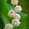 Ландышевые звоны / May Lilies' Chimes