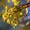 The Spring Gold / Весеннее золото