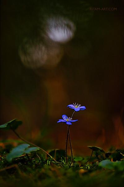 В заповедном лесу - Первенцы Весны / In a Wonder-Forest - the Firstborn of Spring