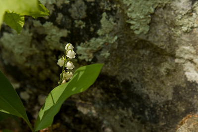 Lily of the Valley tucked behind a rock.