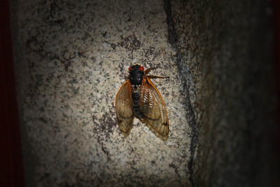 A red-eyed cicada (a periodical cicada that appears once every 17 years) greets us by the door of Jean's house.
