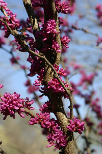 Red Bud, flowering from the bark.